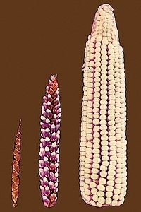200px-Cornselection.jpg